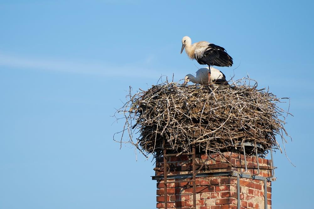bird in chimney, histoplasmosis risk