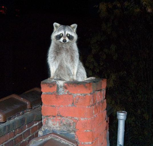 Raccon in a chimney