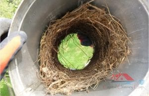 nest in chimney cap