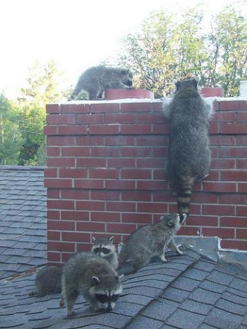 opossums in chimney`